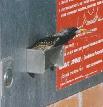 Птица ворует монеты из автомата - ну не беспредел, а?