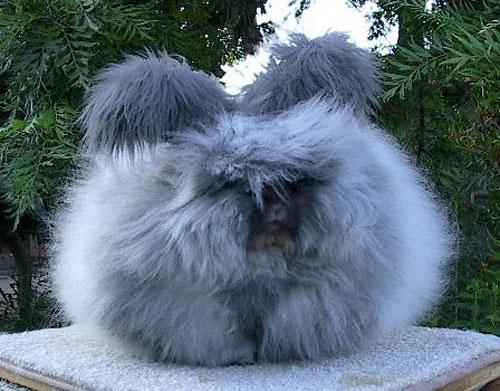 Ankara Tavşanı Hakkında Bilgiler ve Resimleri ( Angora tavşanı )