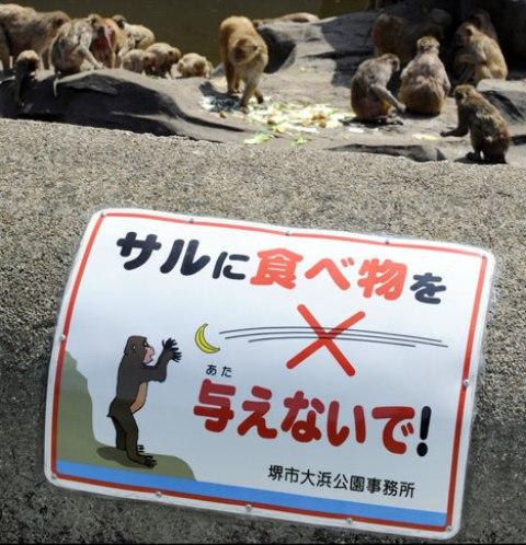 Японские обезьяны. Скоро наверно организуют обезьянье сумо :)