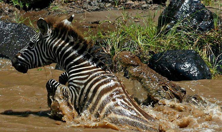 Битва зебры и крокодила