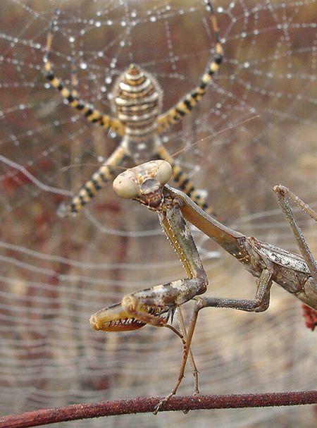 Богомол vs паук