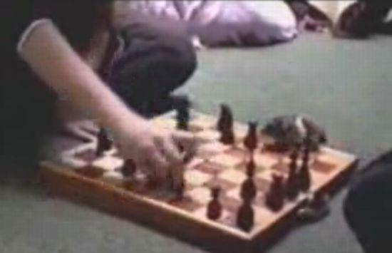 А вы знали, что хомяки тоже умеют в шахматы играть :)