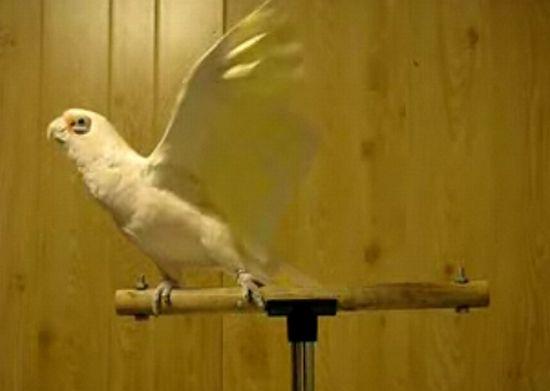 Попугай отжигает :)