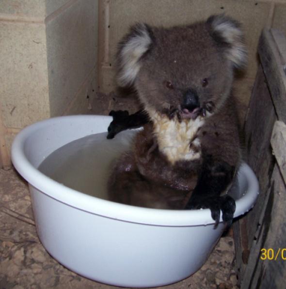 Как коала спасается от жары :)