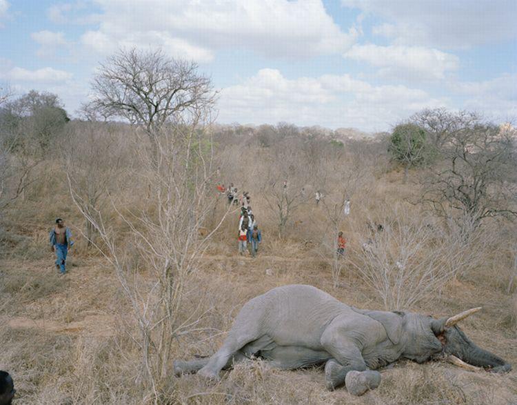 Что делают с умершими слонами в Зимбабве