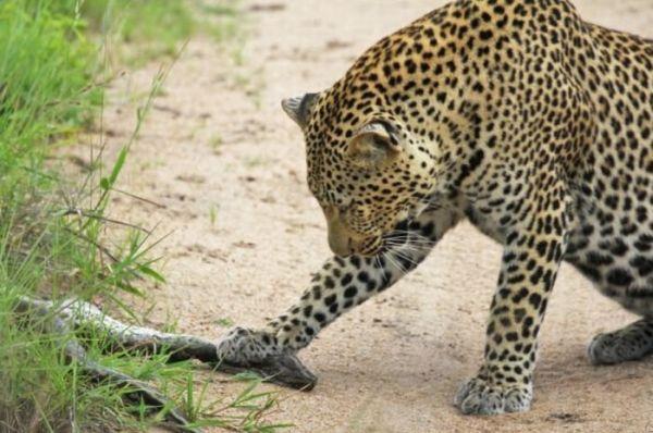 Леопарды играют со змеёй