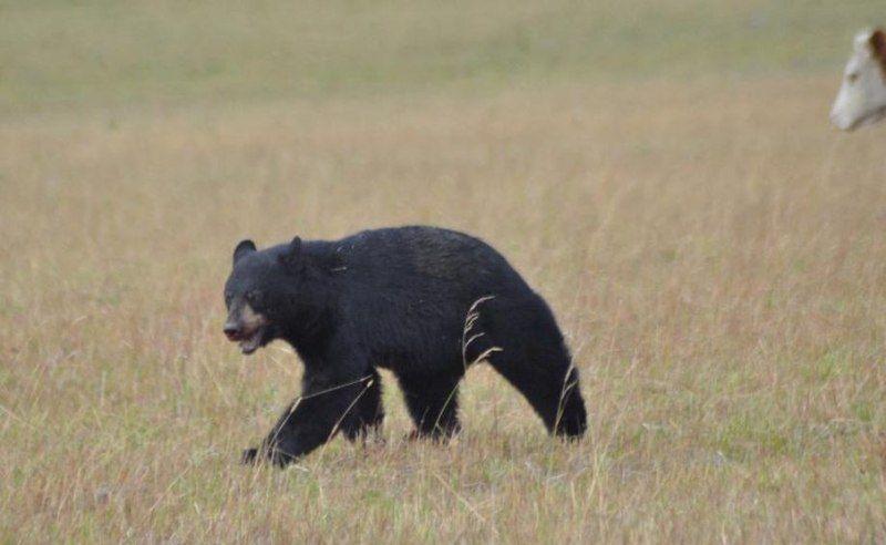 Медведь VS стадо коров