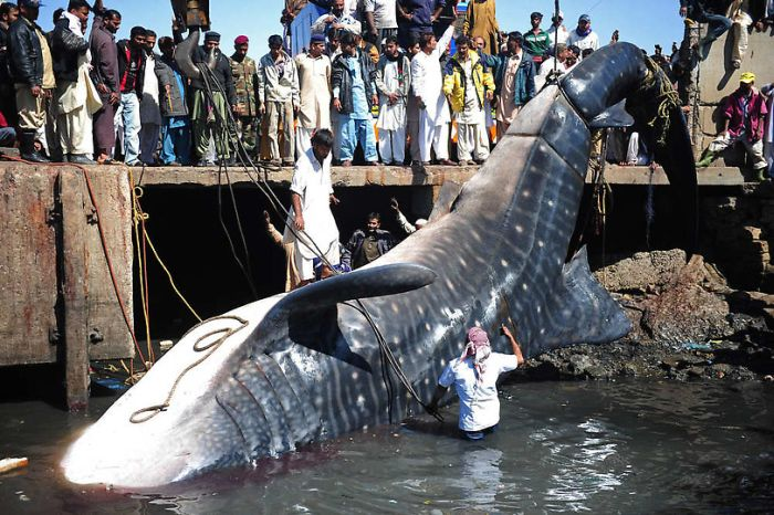 Китовая акула на побережье Пакистана