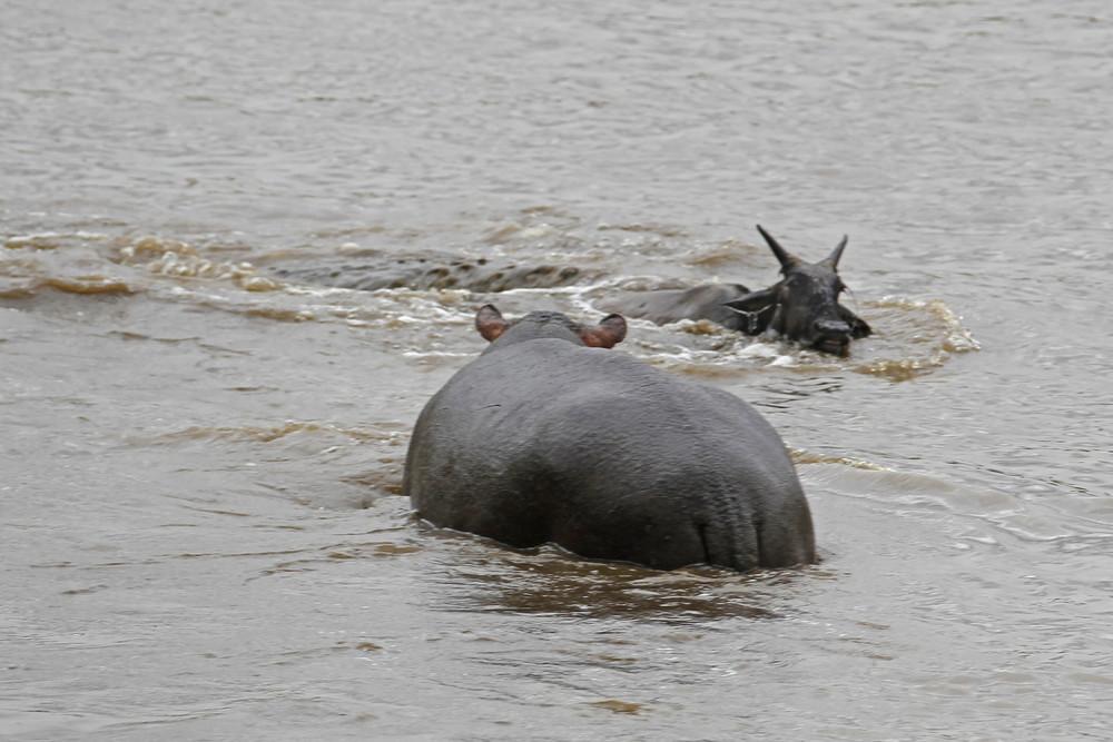 Бегемот спас антилопу от крокодила