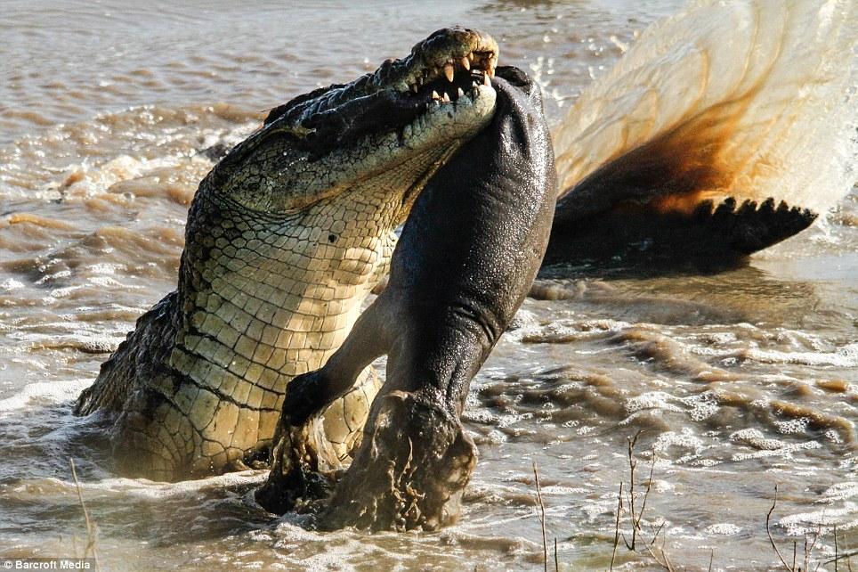 Крокодил сожрал бегемотика