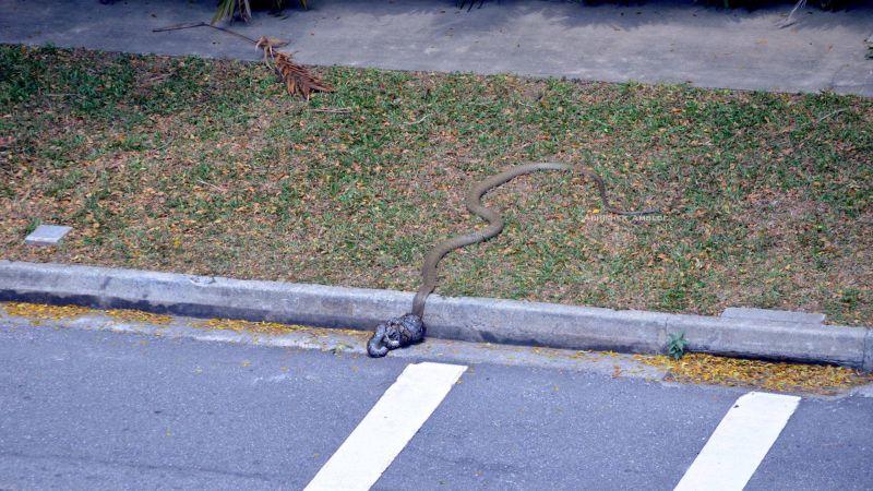 Схватка питона и кобры в студенческом городке