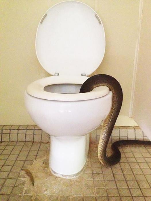 В Австралии питон напугал посетительниц женского туалета