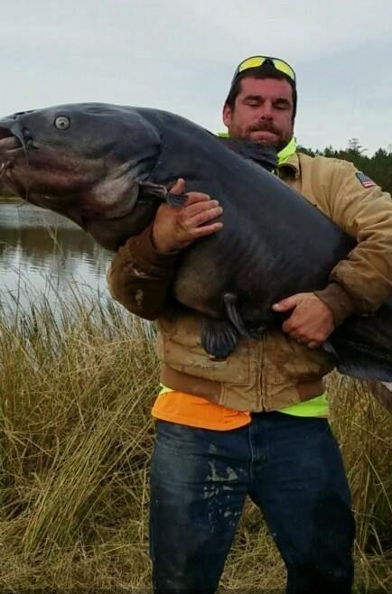 Почти рекордный улов - сом весом 51 кг