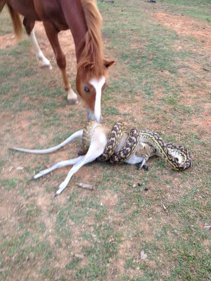 Огромный питон есть кенгуру