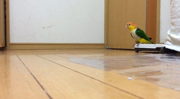 Попугай с необычной походкой