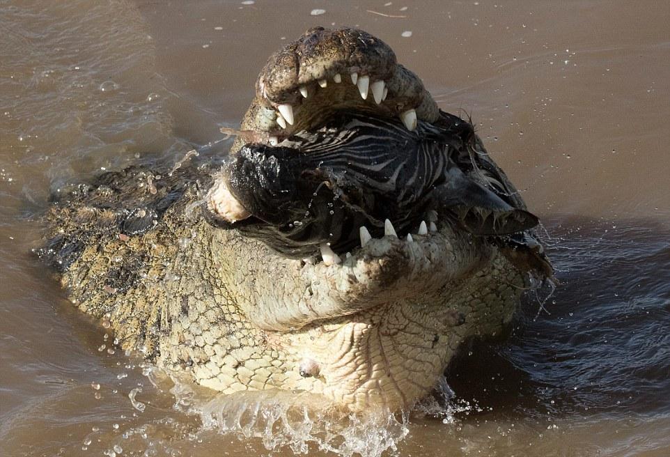 Крокодил пытается проглотить голову зебры