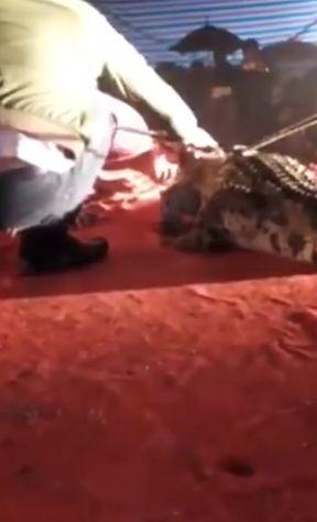 Во Вьетнаме крокодил цапнул за лицо помощника дрессировщика