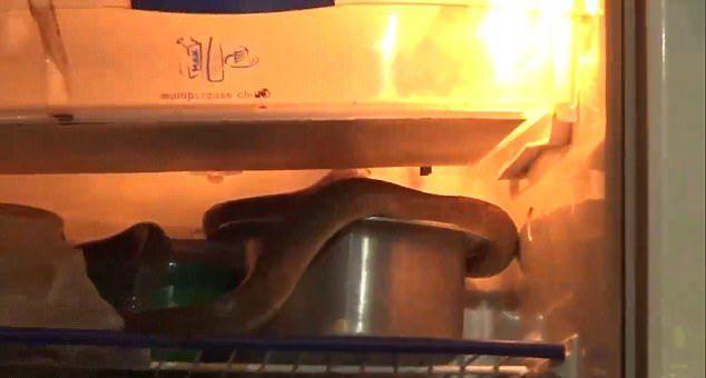 Кобра свернулась калачиком вокруг молока в холодильнике, чтобы спастись от жары