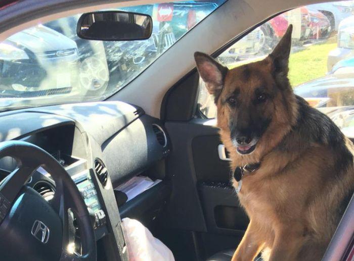Почему оставлять собаку сторожить автомобиль не самая хорошая идея