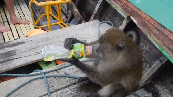Обезьяна забралась в лодку к туристам, напилась водки и уплыла обратно в джунгли