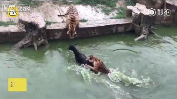 В китайском зоопарке в клетку к тиграм бросают живого осла
