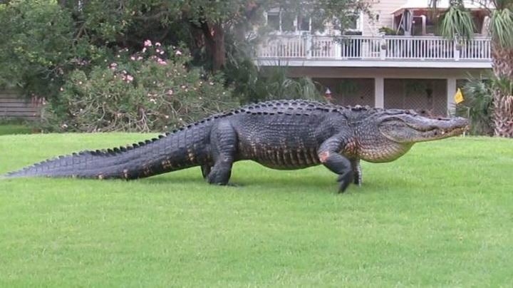 Прогулка гигантского аллигатора по полю для гольфа попала на видео