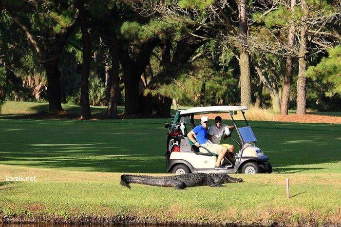Опасные гости на гавайских полях для гольфа
