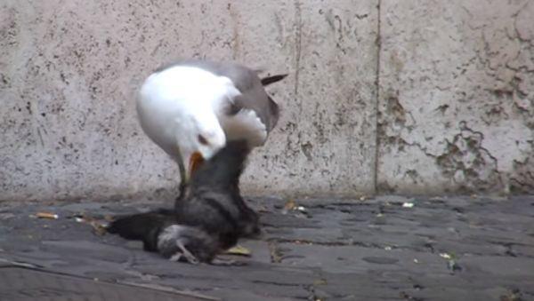 Суровая римская чайка убила и сожрала голубя