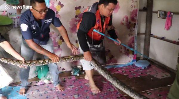 Сетчатый питон устроил переполох в тайской деревне