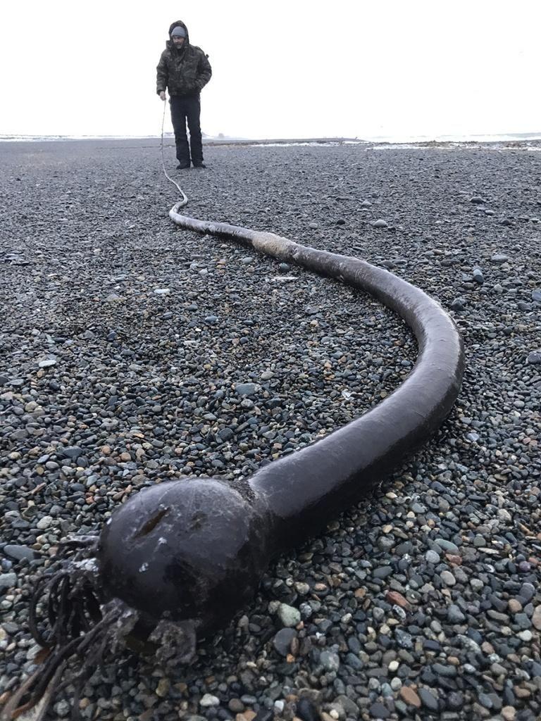 «Морских змей» стали находить на пляжах Чукотского полуострова