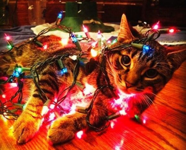Эти коты к новому году уже готовы