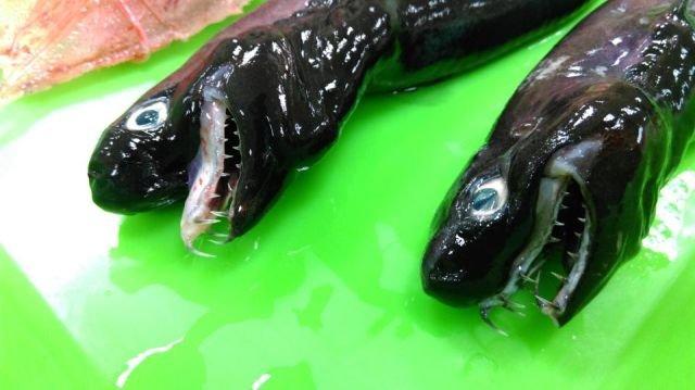 В Тихом океане выловили редких акул-гадюк