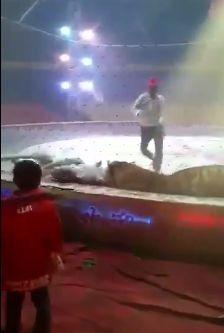 Инцидент в китайском цирке: львица и тигр напали на лошадь