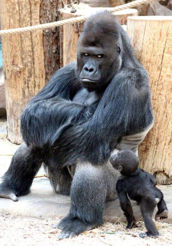 Взгляд самца гориллы, у которого только что родился девятый ребёнок