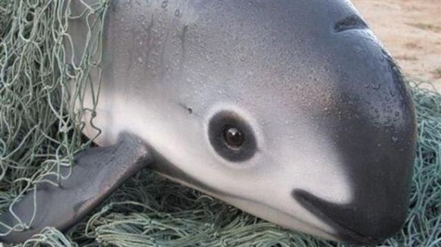 В мире осталось всего 12 особей калифорнийских морских свиней
