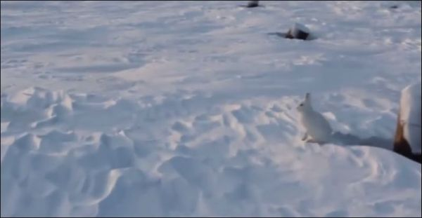 Заяц бежит на двух лапах