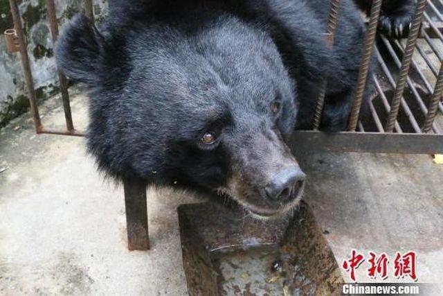 Китаянка два года растила медведя, думая, что это тибетский мастиф