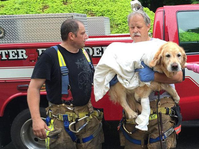 Собака-поводырь, спасла свою хозяйку