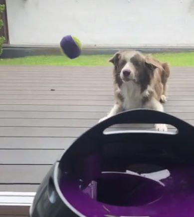 Когда собакен умеет развлекать сам себя