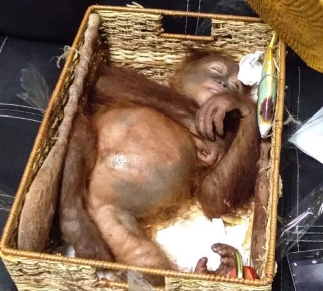 На Бали задержали гражданина РФ, который пытался провезти орангутана в багаже Всячина