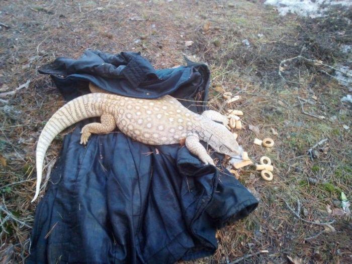 В лесу под Кингисеппом обнаружили песчаного варана Гульда Всячина