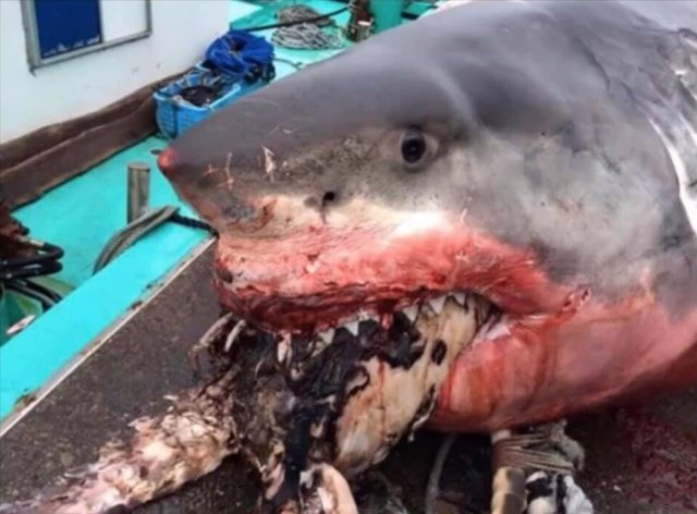 Рыбак из Японии опубликовал фото гигантской белой акулы Всячина
