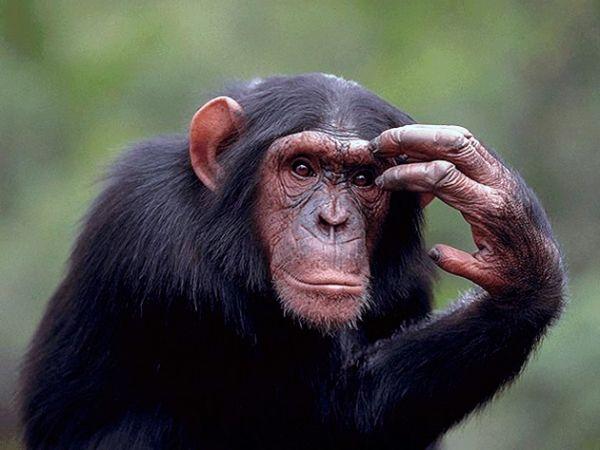 Умная обезьяна Истории