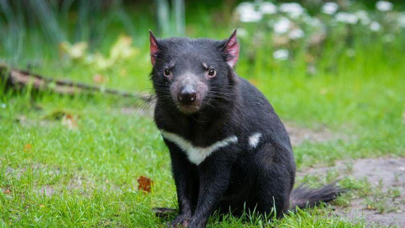 Тасманийский дьявол и 2020 год Всячина